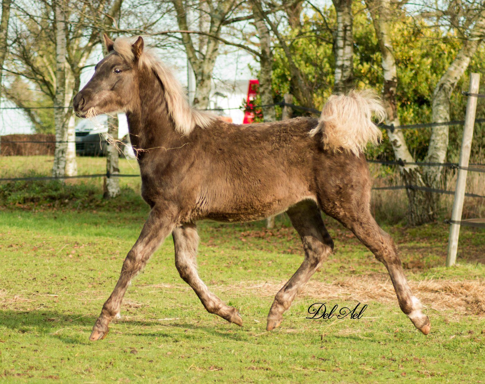 Etalon Stallion morgan horse silver del ael